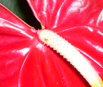 anthurium anturium anturij flamingov cvijet flamingo flower