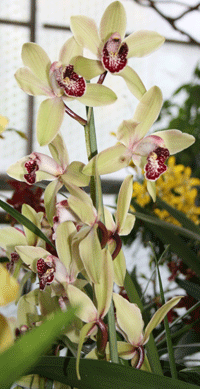 white red cymbidium