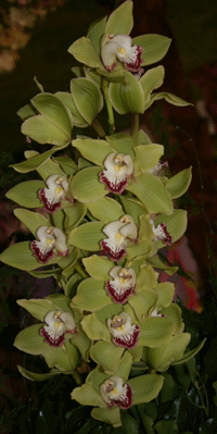 green cymbidium orchid