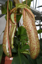 nepenthes coccina