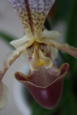 paphiopedilum orchid with mustache