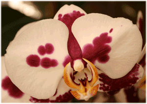 phal with spots