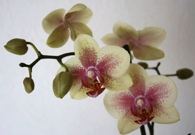phalaenopsis from omis